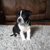 Is My Puppy a Pure Bred Pit Bull? - black and white puppy on grey rug