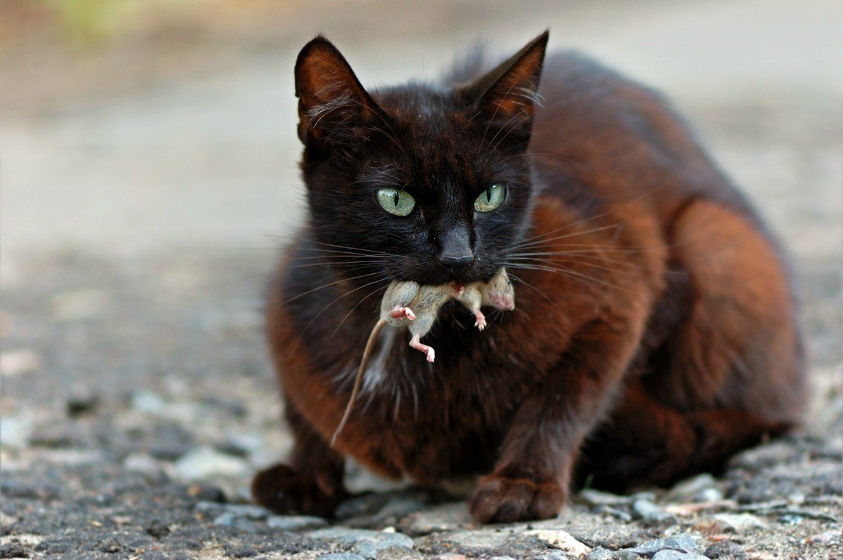 Cat With Mouse In Mouth