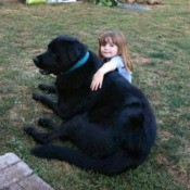 Bear (Rottweiler/Great Pyrenees Cross) - large black dog with a young child