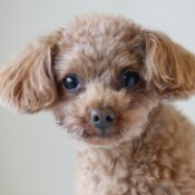 Close up of apricot Toy Poodle