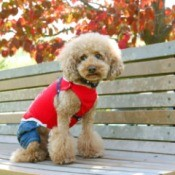 Miniature poodle dressed in a 4th of July outfit.