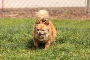 Chihuahua Pomeranian Mix