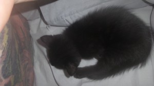 Introducing a New Kitten to the Resident Cat - black kitten