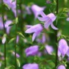Purple Canterbury Bells (Bellflowers).