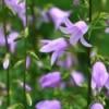Purple Canterbury Bells (Bellflowers).