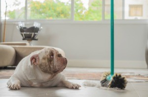 Bull dog looking at a broom sweeping up dog hair.