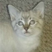 Tobie (Lynx Point Siamese Mix) - grey and white cat