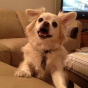 Lily Marie Seeley (Pekingese and Chihuahua) - cream colored dog on couch