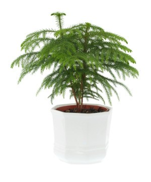 A Norfolk pine or Araucaria heterophylla, in a white pot.
