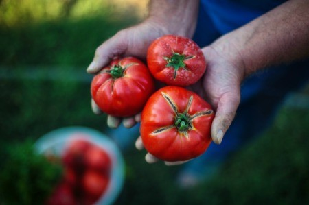 Closeup of hands holding 3 tomatoes.