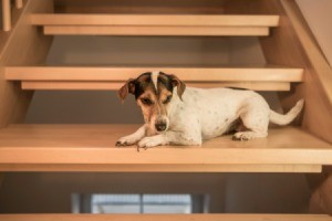 Dog on wooden stairs.