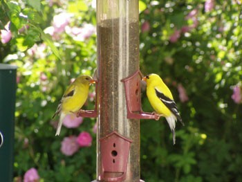 Two goldfinches at a bird feeder.
