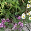 Pretty Weeds - pink five petal flowers and white and yellow daisy like ones