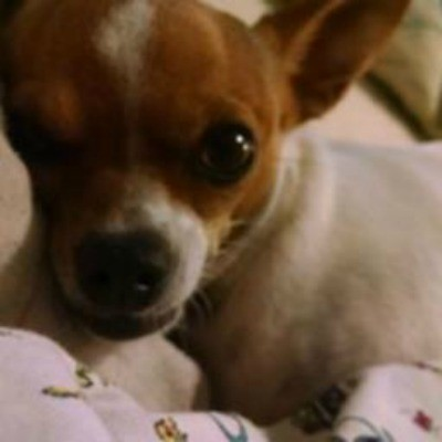 Dog Is Nauseous and Not Pooping - small white and brown puppy