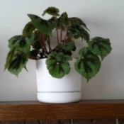 Identifying a Houseplant - plant with medium and dark green heart shaped leaves