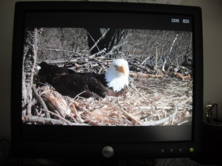 Eagle Cam - bald eagle