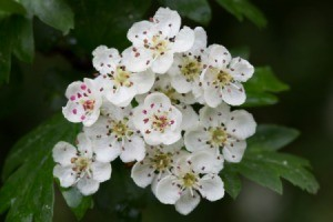 Closeup of Hawthorn flowers