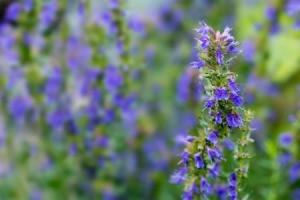 Small purple Hyssop flowers.