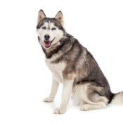Siberian Husky on white background.