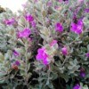 Texas Sage bush with blooming purple flowers.
