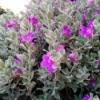 Texas Sage bush with blooming purple flowers.