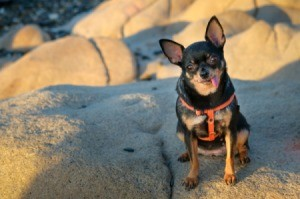 Chihuahua mix in a harness sitting on a big rock, sticking his tongue out.