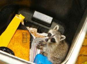 Raccoon looking for goodies in a waste bin.