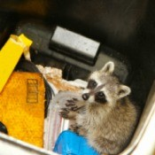 Raccoon looking for goodies in a waste bin.