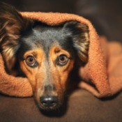Frightened looking Dachshund hiding in a brown blanket.