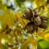 Pecans growing on a tree with green and yellow leaves.