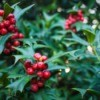 Holly shrub with red berries.