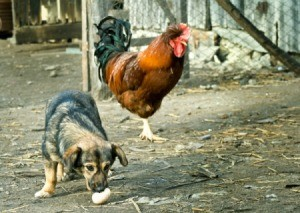 Dog stealing a chicken egg with a rooster in the background.