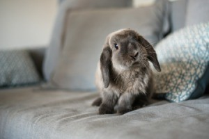 Grey floppy eared bunny on a grey couch.
