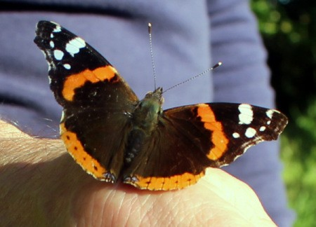 A Red Admiral butterfly perched on a hand.