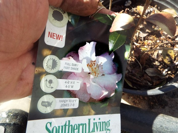 Testing Bargain Camellias (And Other Plants) - Camellia October Magic-Orchid