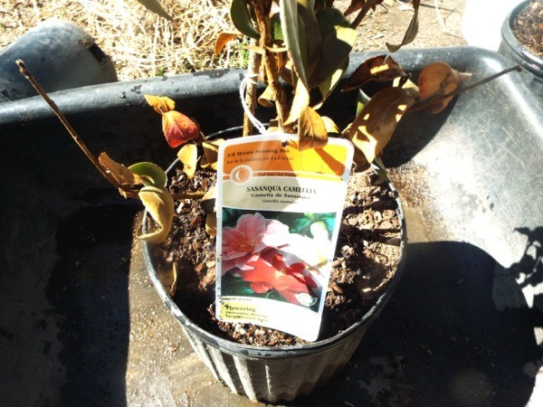 Testing Bargain (And Other Plants) - Camellia 5 Plants In Pot