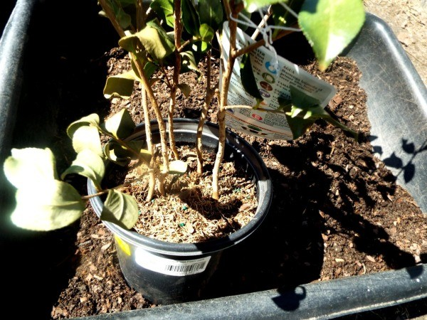 Testing Bargain Camellias (And Other Plants) - Sasanqua Camellia unnamed variety