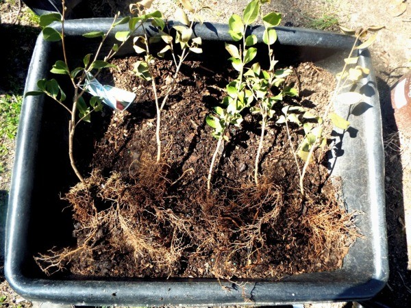 Testing Bargain Camellias (And Other Plants) - separated plants
