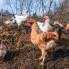 Chickens on top of a pile of manure.