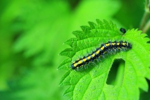 Caterpillar on a a green leaf