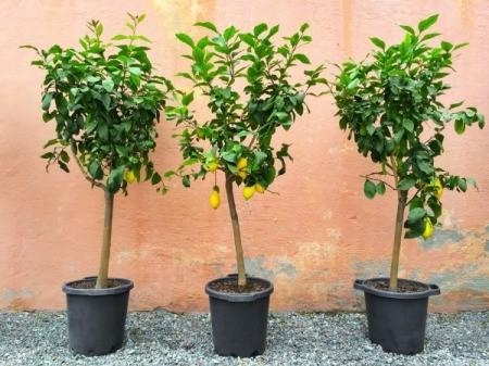 Three Lemon trees in pots