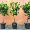 Three Lemon trees in pots