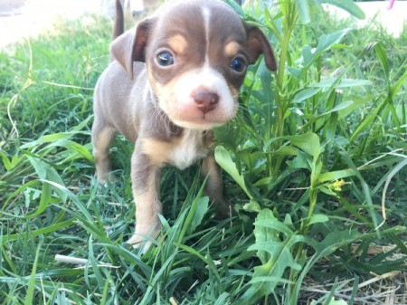 What Type of Chihuahua Is She? - brown and tan puppy