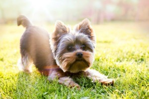 Yorkshire Terrier puppy playing grass