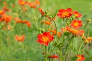 Geum flowers in a field