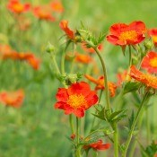 Geum flowers in a field