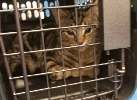 Caring for a Rescue Kitten - tabby kitten in a carrier