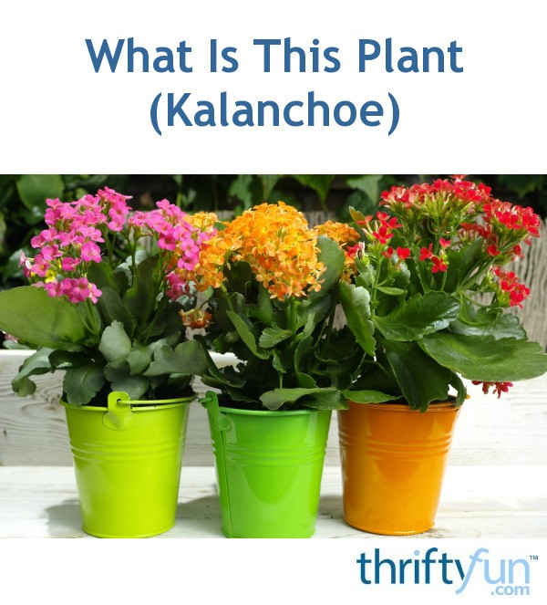 What Is This Plant? (Kalanchoe)   ThriftyFun Kalanchoe House Plant Html on cabbage house plant, opuntia house plant, lantana house plant, mandevilla house plant, acacia house plant, sage house plant, zinnia house plant, kentia palm house plant, carnation house plant, crossandra house plant, sansevieria house plant, camellia house plant, shrimp plant house plant, fittonia house plant, holly house plant, buddhist pine house plant, cast iron plant house plant, periwinkle house plant, cereus house plant, crassula house plant,