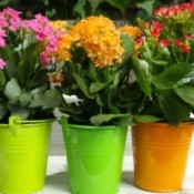 Three different colored kalanchoe plants in colorful planters.