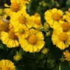 Golden yellow blooms on a helenium plant in a garden.